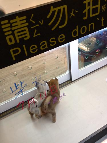 20130818 Pet store Shibas
