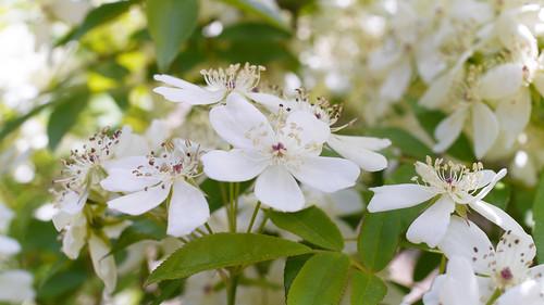 Rose, Rosa banksiae var. normalis, バラ, ロサ バンクシアエ ノルマリス,