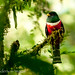 Collared Trogon male 2