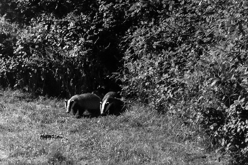 The badgers coming out for a snack