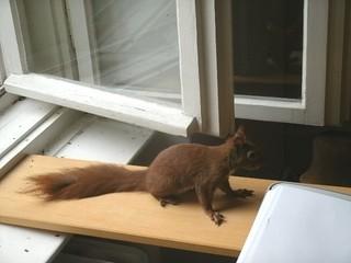Eichhörnchen zähmen 15