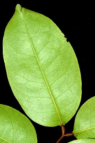 Xylocarpus moluccensis DSC_0260 (6)