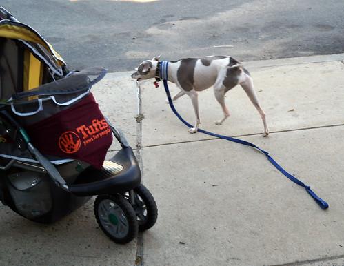 baddoggreyhoundC09302