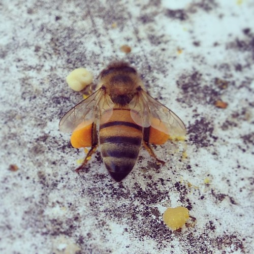 What a hardworking girl she was this afternoon. #beekeeping #texasbeekeeping #pollen