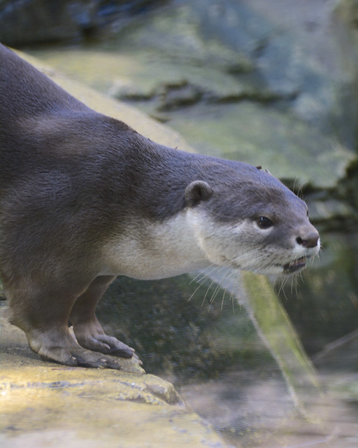a large-pawed otter standing at the edge of a rock, head low, looking very intently over the water, its mouth very slightly open.