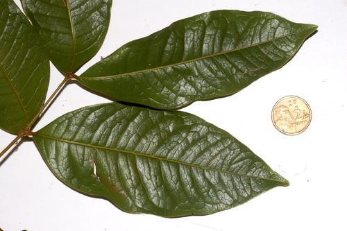 Mischocarpus lachnocarpus DSC_0036