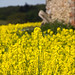 Rapeseed blossoms