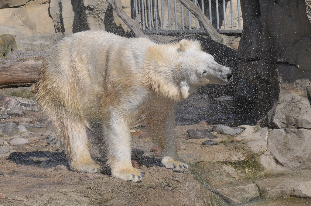 Eisbärin Valeska im Zoo am Meer in Bremerhaven