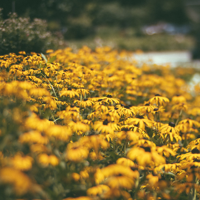 Yellow Daisy Field Trina Baker Photography Lawrence Kansas