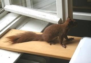 Eichhörnchen zähmen 13