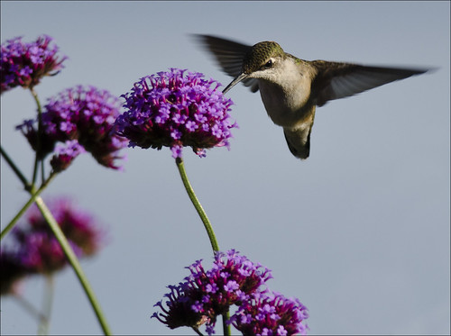 Hummer at vervain 4