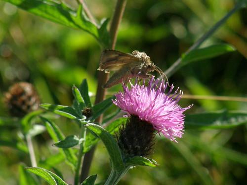 Silvery Y moth