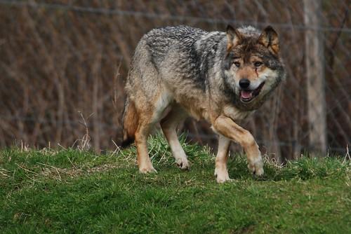 Eurasischer Wolf im Skandinavisk Dyrepark in Kolind