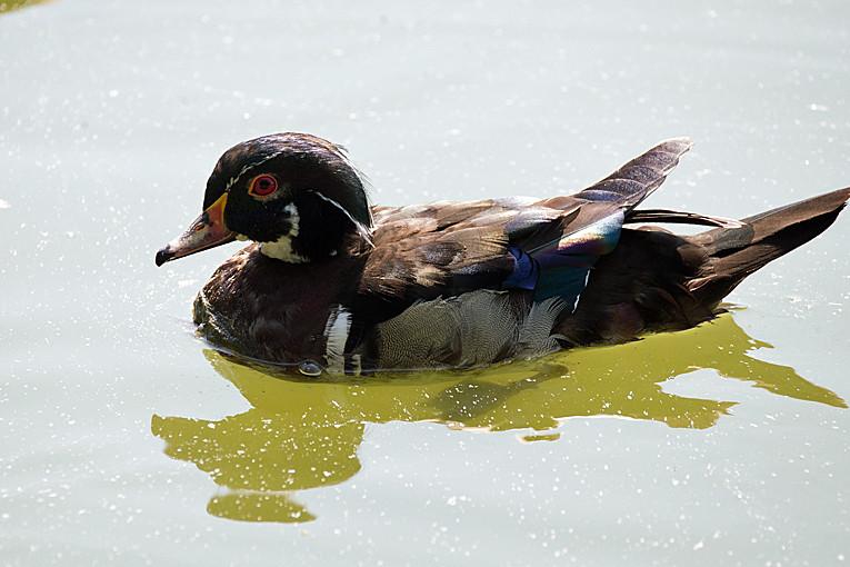 _DSC0914 Wood Duck (m)
