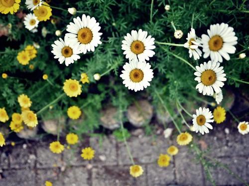 P116075kawaguchiko flower festival 6