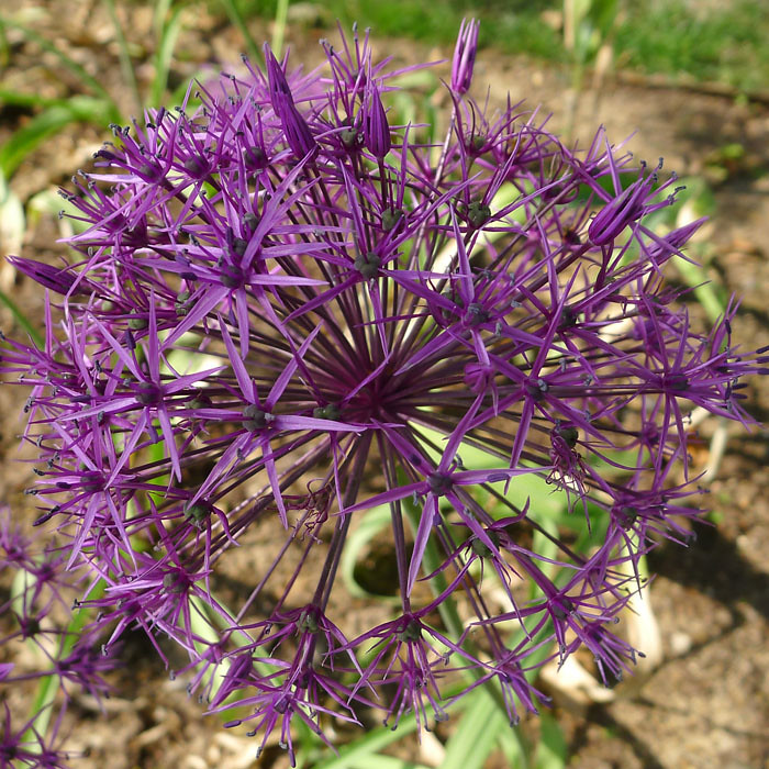 Allium 'Purple Rain' av smalloranges, på Flickr
