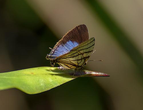 Borboleta (Arawacus meliboeus)