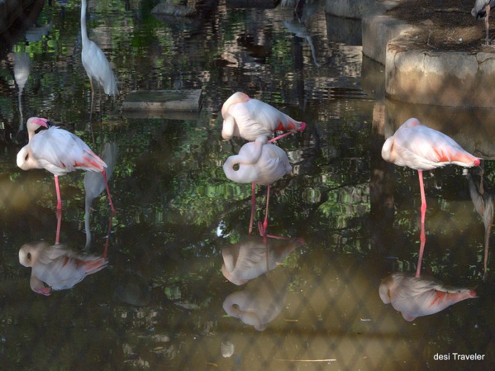 Hyderabad Zoo Park Flamingos standing on one leg