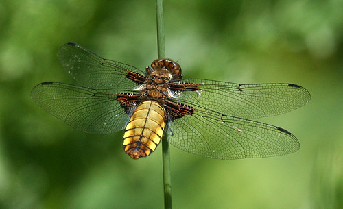 Broad-bodied Chaser Libellula depressa Tophill Low NR, East Yorkshire June 2013