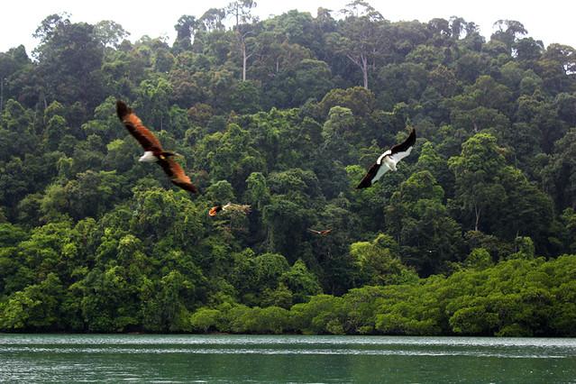 Eagle feeding - Langkawi