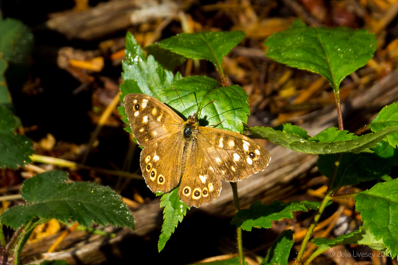 This Speckled Wood Butterfly kindly posed for me