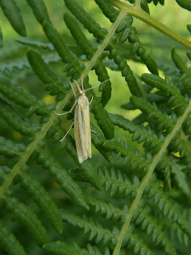 A micro moth