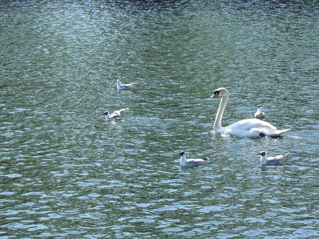 Лебедь и чайки // Swan and gulls