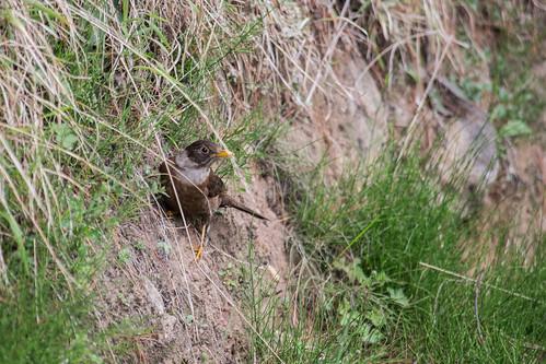 White-collared Blackbird (Female)