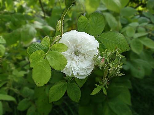 Rosa damascena - Mme Hardy