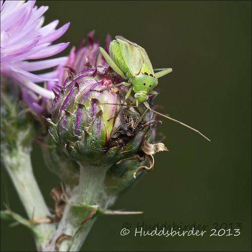 Plant Bug [Closterotomus norwegicus]
