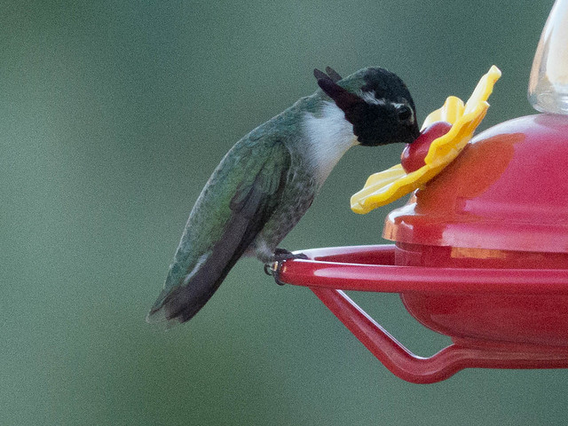 Costa's Hummingbird-1080147
