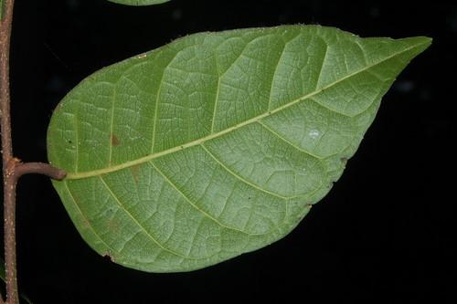 Trophis scandens DSC_0754 (2)