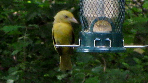 Tanager on Feeder by Rosa Blue