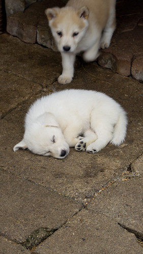 Sleeping Puppy(1080x1920)