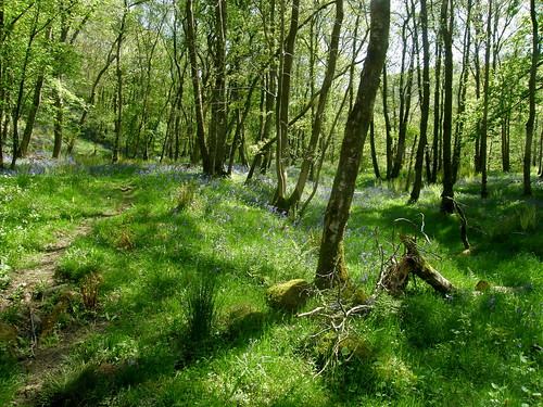 More bluebells in Outhwaite Wood