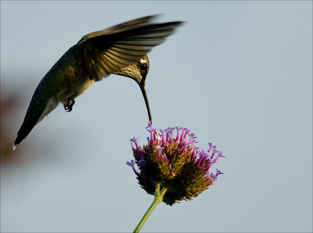 Hummingbird at vervain 6