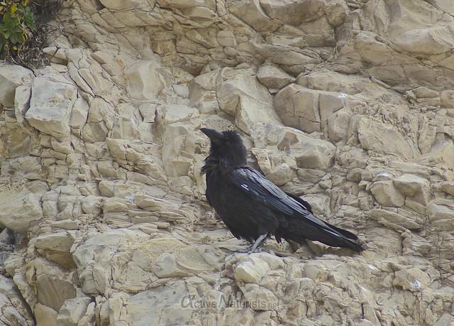 raven 0000 4 Mile Beach, CA, USA