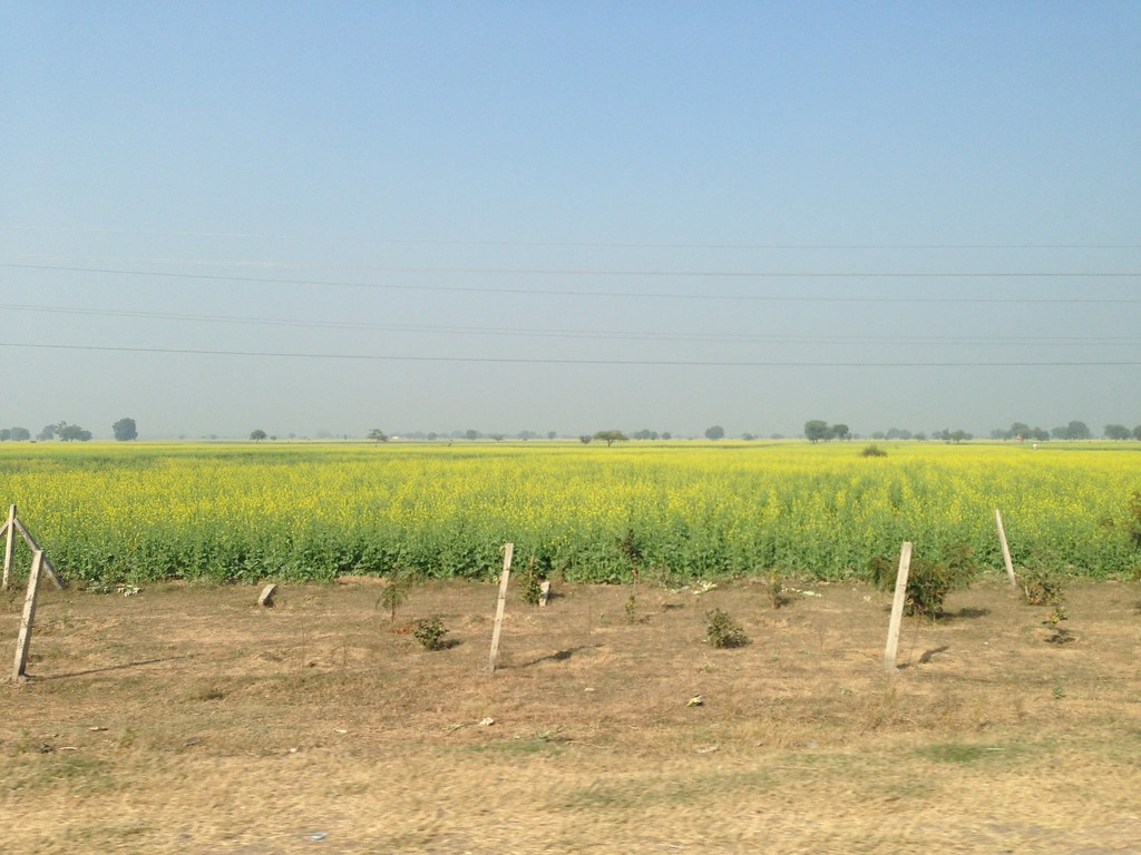 Rapeseed Farmlands