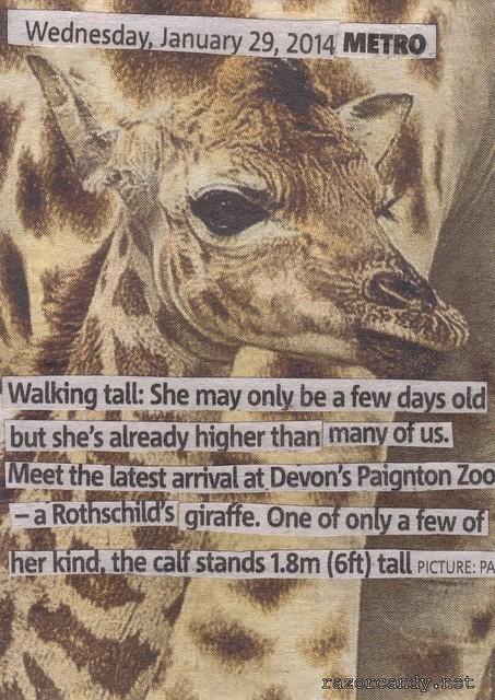 Rothchilds giraffe (2)