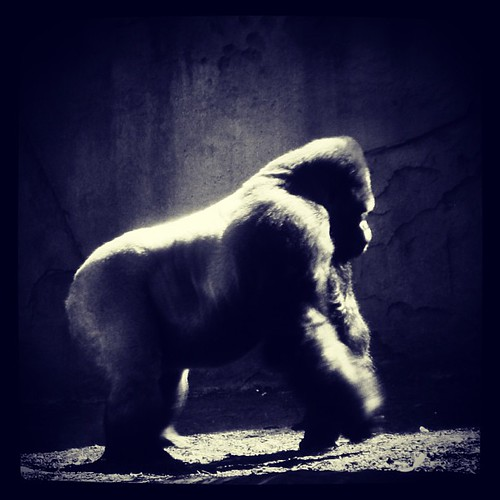 Silverback Gorilla at the #tarongazoo #sydney #australia by @MySoDotCom