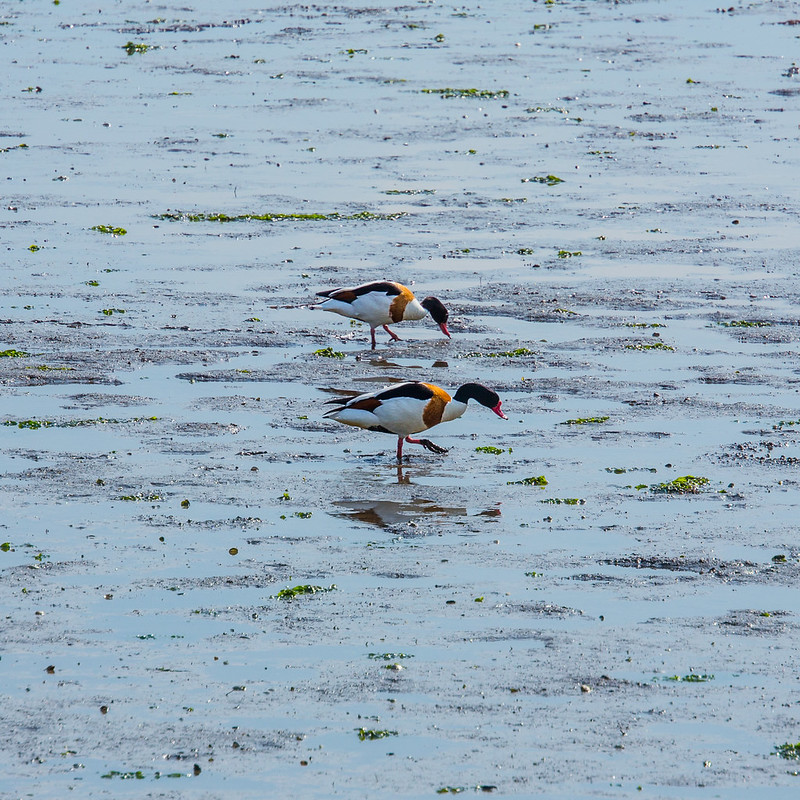 Shelducks feeding at low tide