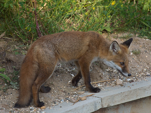 Fox exploring