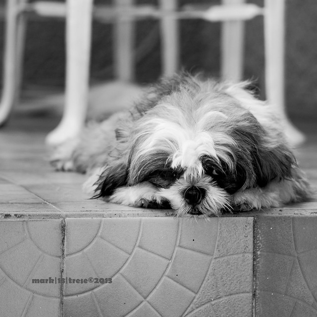 pet Red shih-tzu dog missing black and white