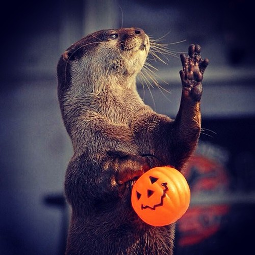 An otter standing upright, one paw held up. In the other paw it holds an orange plastic jack-o-lantern