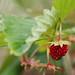 Wild strawberries II