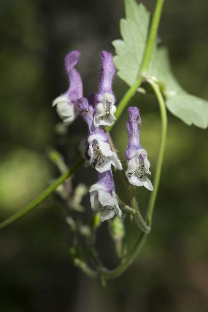 dao-44522 Aconitum albo-violaceum