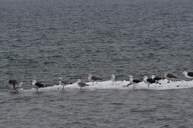 Great Black-backed Gulls & Herring Gulls