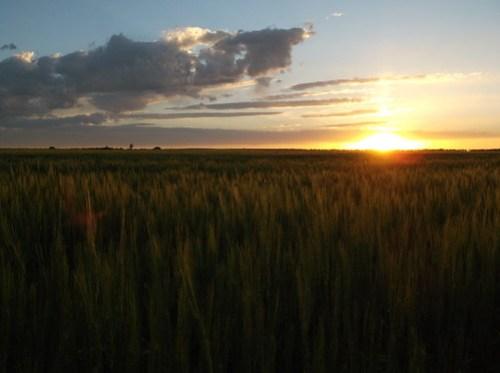 Wheat field at home - still green