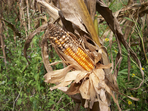 Improper maize cob for harvesting