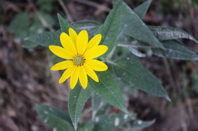 Wild Sunflower, Union Covered Bridge State Historic Site, Missouri, September 28, 2012